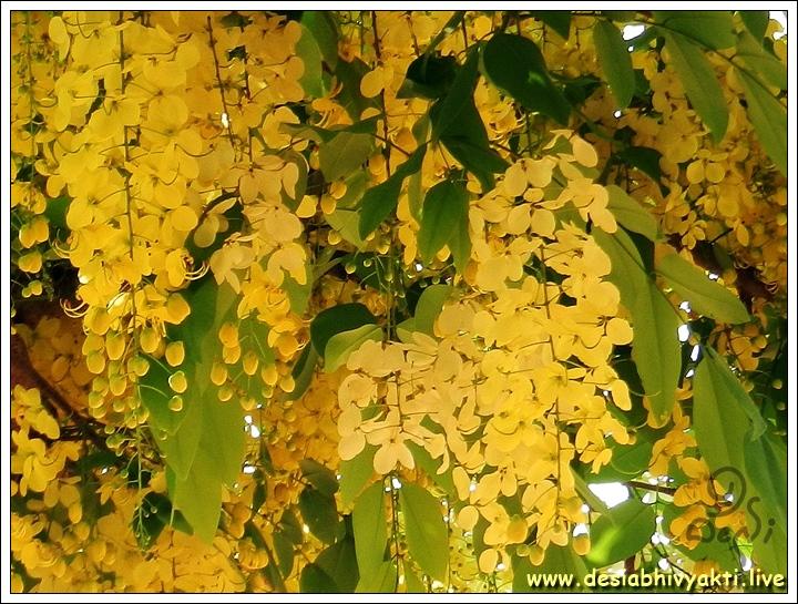 Konde or Golden Shower Flowers